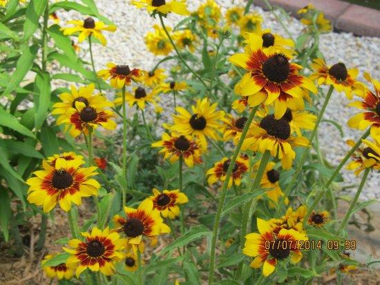 Big Locust Farm Bed and Breakfast: sunflower