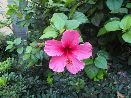 Quality Suites Mission Valley SeaWorld Area: hibiscus plant on grounds
