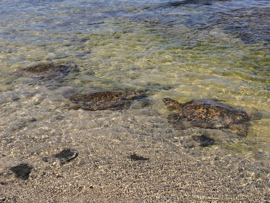Mauna Lani Bay Hotel & Bungalows: Turtles enjoying the protected beach in the morning.