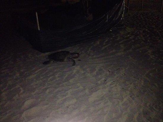 Occidental Nuevo Vallarta: Turtle on beach