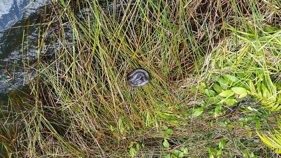 Lake Barrine Rainforest Cruise and Teahouse: Amethystine Python on Bank of Lake