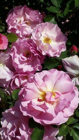 Los Angeles County Arboretum & Botanic Garden: In the rose garden