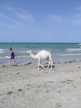 Hasdrubal Thalassa & Spa Djerba: La madcotte de la plaqe