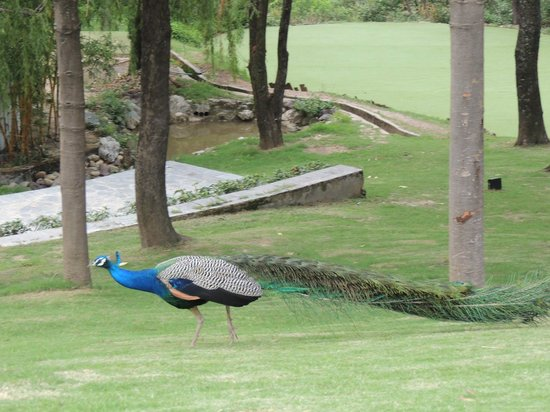 Ananda in the Himalayas: Peacock in the garderns