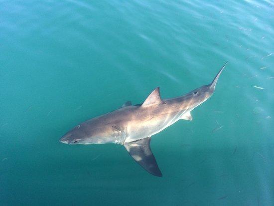 Great White Shark Tours: Shark tours.