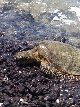 Lava Lava Beach Club: Sea turtle