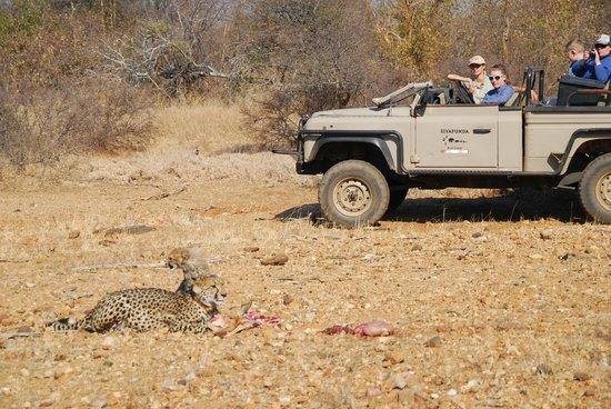 Siyafunda Conservation: Observing cheetah and cub on their kill!