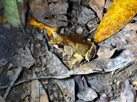 Borneo Rainforest Lodge: grenouille