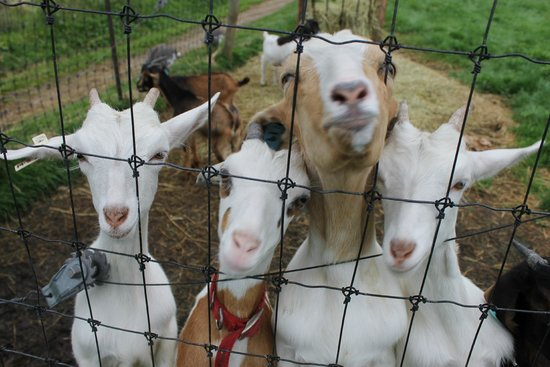 The Inn at East Hill Farm: goats