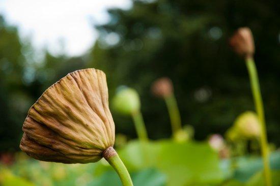 Villa Taranto: Fiore di loto
