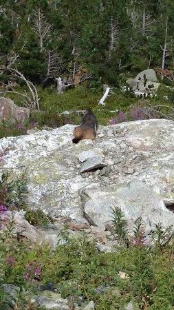 Lac de Gaube: La marmotte