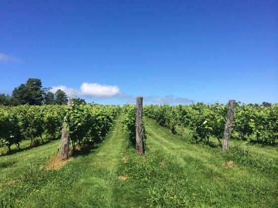 Annapolis Highland Vineyards : Some of the vines behind the winery