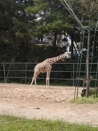 Kölner Zoo: Giraffe