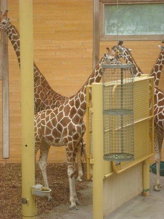 Rotterdam Zoo: Жирафы