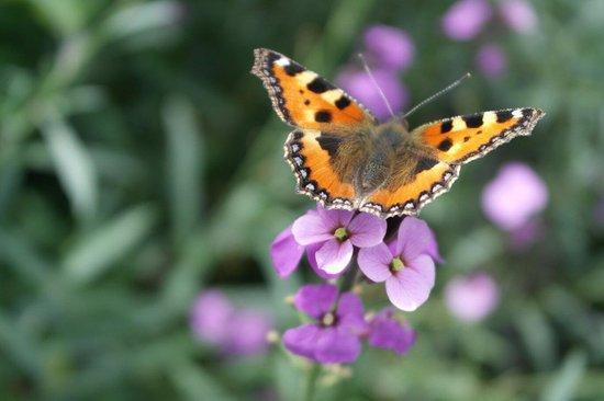 RHS Garden Rosemoor: Beautiful butterfly!