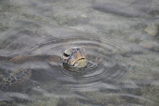 Honaunau, Hawái: Sea turtle popping its head up at the Place of Refuge beach