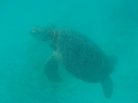 Perhentian Island Resort: tartaruga