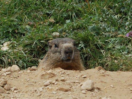 Rifugio Ciampedie: Marmotta incontrata durante le escursioni