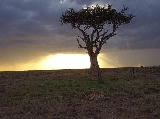 Porini Lion Camp: zonsondergaan met cheetas