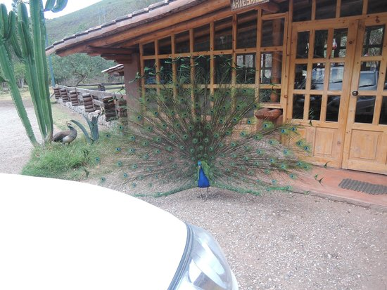 Hotel & Restaurante Tampumayu: il pavone