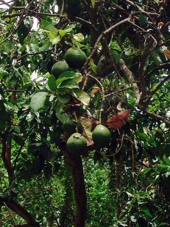 Moon Hill : A pear tree. :)