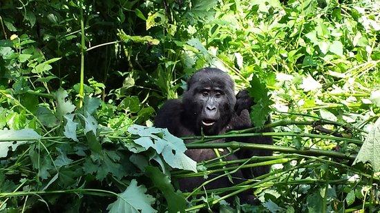 Gorillas and Wildlife Safaris : shell shocked gorilla