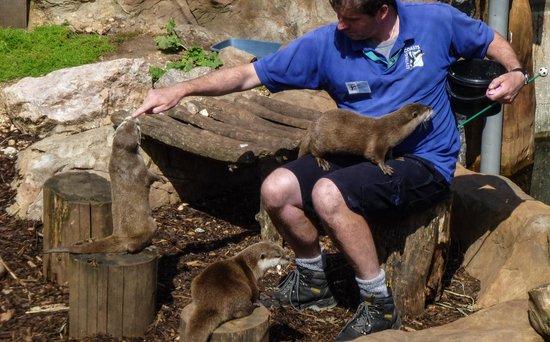 Living Coasts: Otter feeding