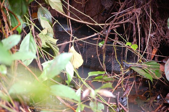 Napo Wildlife Center Ecolodge: 8m anaconda digesting its food