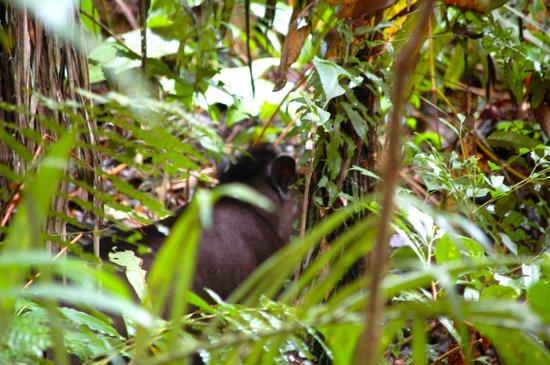 Napo Wildlife Center Ecolodge: Tapir