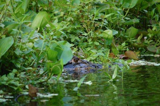 Napo Wildlife Center Ecolodge: 3-5m caiman