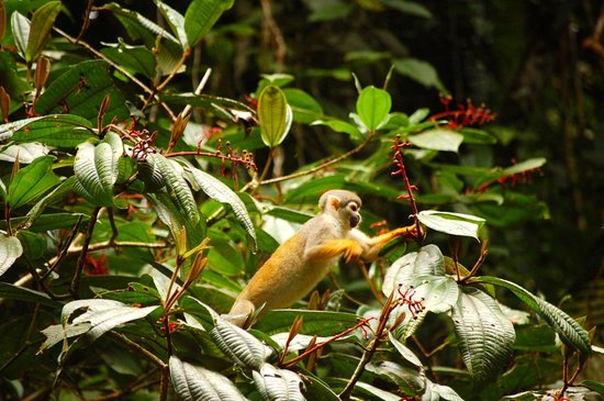 Napo Wildlife Center Ecolodge: Squirrel monkey