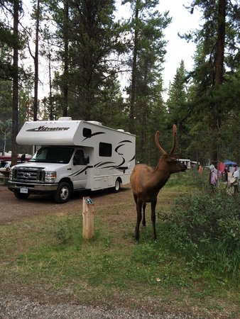 Wapiti Campground: Wapitis