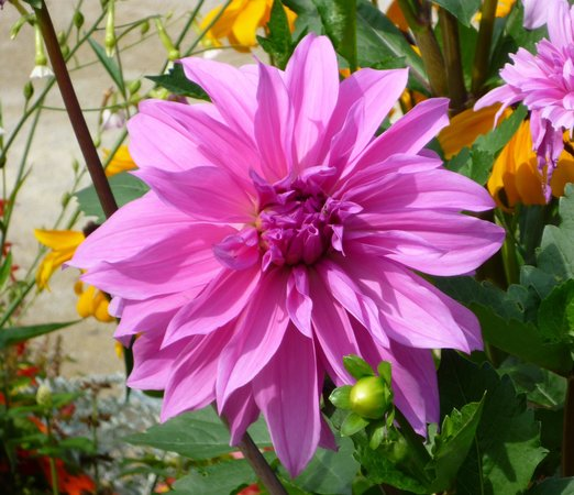 Jardin des plantes de Coutances : One of the gorgeous flowers on view