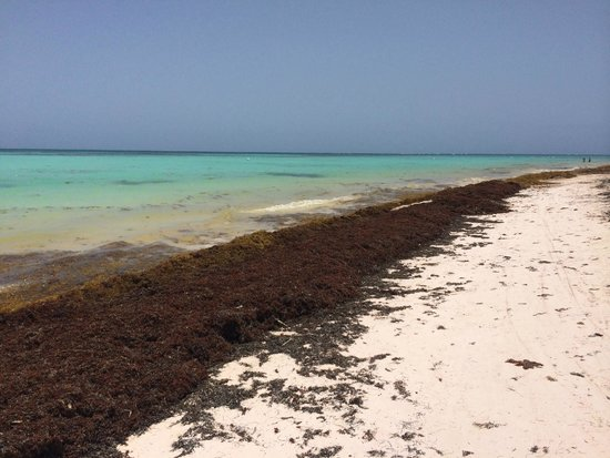 Sanctuary Cap Cana by AlSol: Juanillo Beach right next to resort an example of all of the seaweed