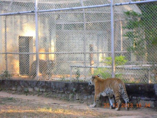 Birsa Zoological Park: Tiger