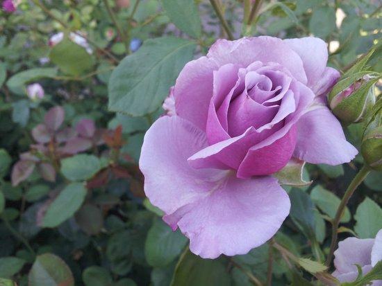 International Rose Test Garden : rosas