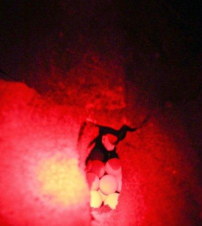 Samara Adventure Company: Olive Ridley turtle laying eggs