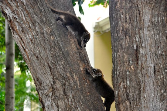 The Westin Golf Resort & Spa, Playa Conchal: Coatis playing in the tree... babies everywhere!