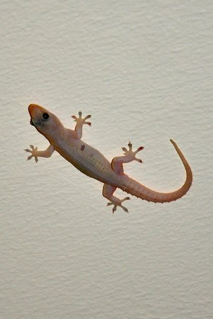 The Westin Golf Resort & Spa, Playa Conchal - An All-Inclusive Resort: Gecko on our porch. A few got into our room.
