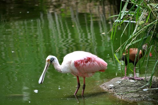 The Westin Golf Resort & Spa, Playa Conchal - An All-Inclusive Resort: Crazy looking bird at the pond