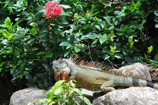 The Westin Golf Resort & Spa, Playa Conchal : Iguana