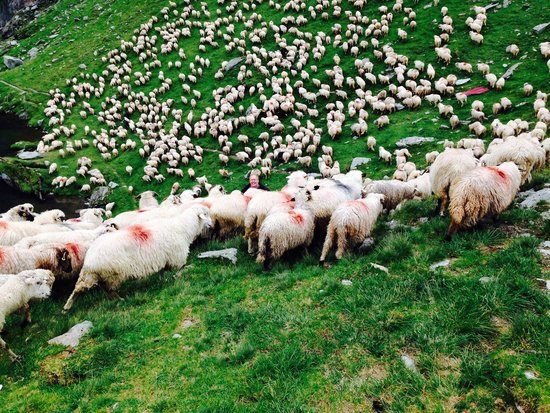 Fagaras Mountains : Grazing sheep