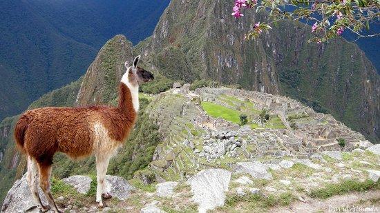 En Machu Picchu hay vicuñas sueltas!