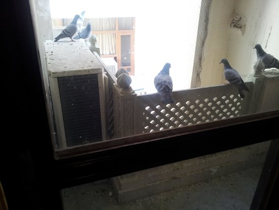 Nahargarh Haveli: Pigeon in the Hotel again