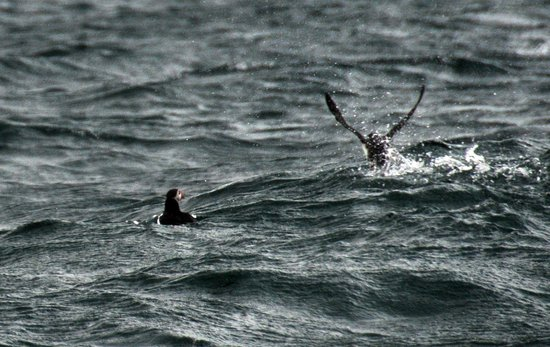 Special Tours - Puffin Express: If you know where to look, you can get great pics of the puffins.