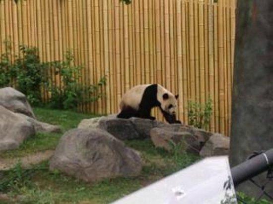 Toronto Zoo: Active Panda
