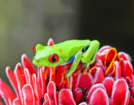 Horquetas, Costa Rica: Red-Eyed Tree Frog put on flower