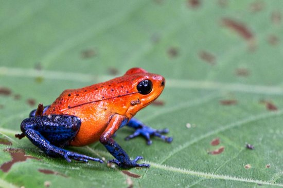 Frogs Heaven: Jeans frog or Strawberry dart frog
