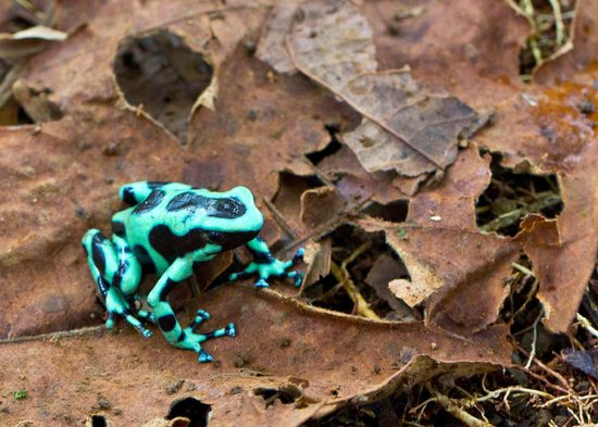 Frogs Heaven: Green and Black Dart-poison Frog