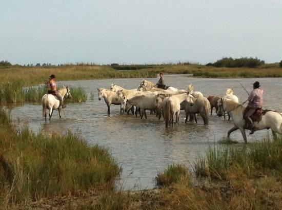 Camargue Sauvage safari 4x4 : Juments camarguaises